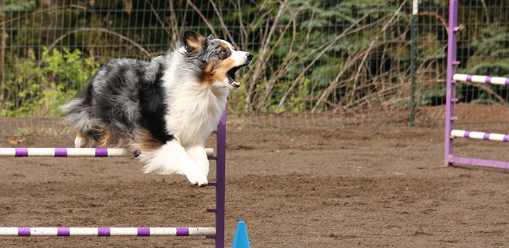 Roxy on agility course