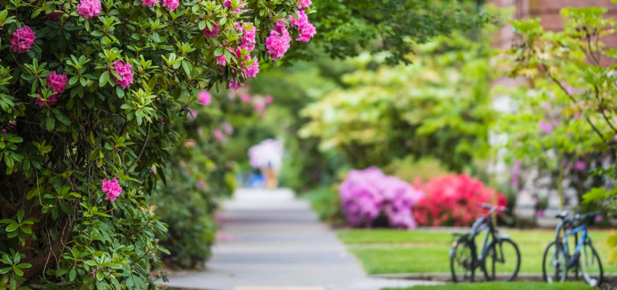Campus sidewalk with rhododendrons blooming in the spring.