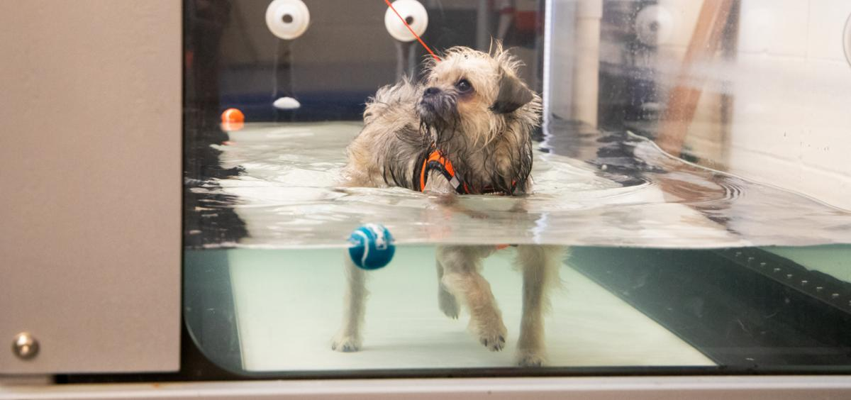 Vanessa, a pug-mix, walks on the underwater treadmill during rehab therapy.