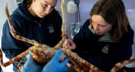 Dr. Kadie Anderson (right) doing a procedure on a spider crab.