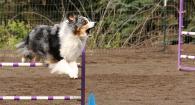 Roxy on agility course